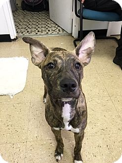 Whippet Mix Puppy for adoption in Hopewell, Virginia - Willow