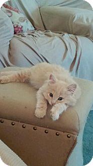 Himalayan Kitten for adoption in Hastings, Minnesota - Donatello