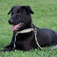 Labrador Retriever Mix Dog for adoption in Midlothian, Virginia - Hotdog