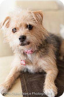 Australian Terrier Mix Dog for adoption in Encino, California - Dahlia