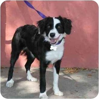 Border Collie Mix Dog for adoption in Denver, Colorado - Loki