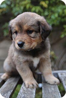 Australian Shepherd/Golden Retriever Mix Puppy for adoption in La Habra Heights, California - Duke
