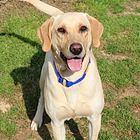 Labrador Retriever Mix Dog for adoption in Shreveport, Louisiana - Jack