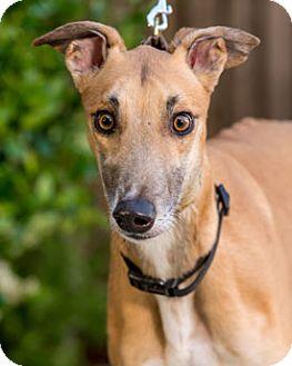 Greyhound Dog for adoption in Walnut Creek, California - Whosyo