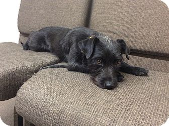 Scottie, Scottish Terrier Mix Dog for adoption in Bend, Oregon - Annabel