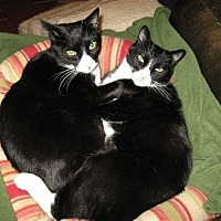 Manx Cat for adoption in Lynchburg, Virginia - Two Kittie's Names here (you can edit)