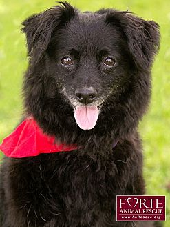 Terrier (Unknown Type, Small)/Papillon Mix Dog for adoption in Marina del Rey, California - Bobby