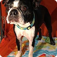 Adopt A Pet :: Ocho - Indian Trail, NC