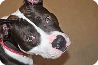 Boston Terrier Mix Dog for adoption in Plainfield, Connecticut - ZOEY