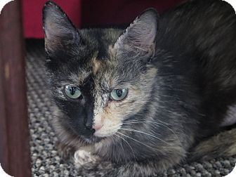 Domestic Shorthair Cat for adoption in Chicago, Illinois - Jody