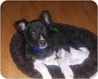 Terrier (Unknown Type, Small) Mix Dog for adoption in Spring Valley, New York - Spanky