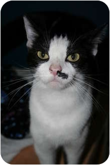 Domestic Shorthair Cat for adoption in Shelbyville, Kentucky - Faith Elise