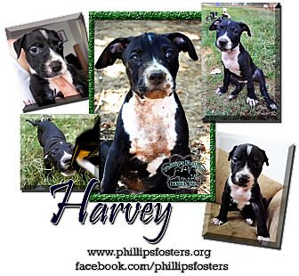 American Bulldog/American Pit Bull Terrier Mix Puppy for adoption in Colleyville, Texas - Harvey