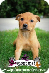 Shepherd (Unknown Type) Mix Puppy for adoption in justin, Texas - Rudy