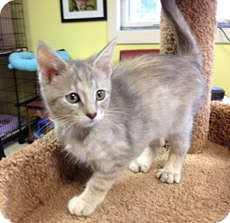 Domestic Shorthair Kitten for adoption in Byron Center, Michigan - Tika