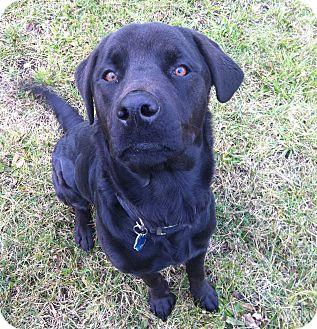 Labrador Retriever/Rottweiler Mix Dog for adoption in Cleveland, Ohio - Thor