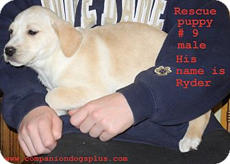 Labrador Retriever Mix Puppy for adoption in Centerpoint, Indiana - Ryder