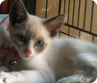 Snowshoe Kitten for adoption in Mandeville Canyon, California - Paige