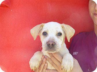 Labrador Retriever/Golden Retriever Mix Puppy for adoption in Oviedo, Florida - Maggie