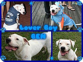 American Bulldog/Boxer Mix Dog for adoption in Tampa, Florida - Ben