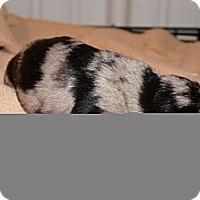 Adopt A Pet :: Lucy aka Stella 4 - Conway, AR