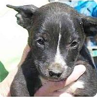 Adopt A Pet :: Bo Diddley - Albany, NY