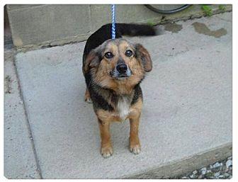 Sheltie, Shetland Sheepdog/Shepherd (Unknown Type) Mix Dog for adoption in Minneapolis, Minnesota - Mattie