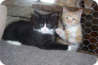 Domestic Mediumhair Kitten for adoption in Pueblo West, Colorado - Billy