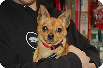 Chihuahua Mix Dog for adoption in Brooklyn, New York - Ren