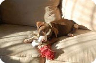 Pointer/Labrador Retriever Mix Puppy for adoption in Marlton, New Jersey - Princess
