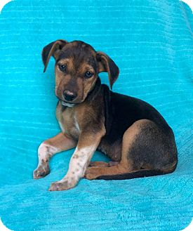 Hound (Unknown Type) Mix Puppy for adoption in Charlotte, North Carolina - Hercules