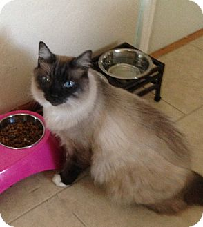 Ragdoll Cat for adoption in Putnam Hall, Florida - Bosco