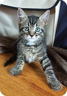 Domestic Shorthair Kitten for adoption in Bonner Springs, Kansas - KCee