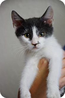 Domestic Shorthair Kitten for adoption in Bradenton, Florida - Nigel