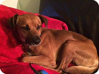 Irish Setter/Retriever (Unknown Type) Mix Dog for adoption in Oak Park, Illinois - Duke
