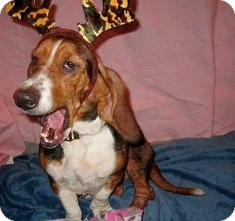 Basset Hound Dog for adoption in Mentor, Ohio - CLAUDIA**TOTAL LOVEBUG!!