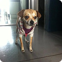 Adopt A Pet :: Kayla - Manhattan, NY