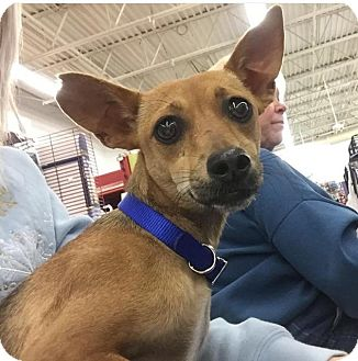 Dachshund/Chihuahua Mix Dog for adoption in Sterling Heights, Michigan - Melanie