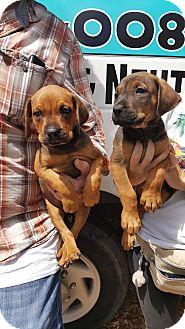 Hound (Unknown Type) Mix Puppy for adoption in Key Largo, Florida - Layla & Lola
