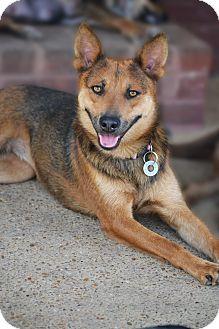 Australian Kelpie/German Shepherd Dog Mix Dog for adoption in Staunton, Virginia - Blair