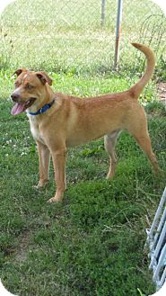Labrador Retriever Mix Dog for adoption in Lombard, Illinois - Sunny