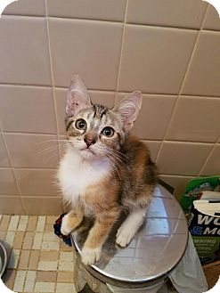 Calico Kitten for adoption in East Brunswick, New Jersey - Twix