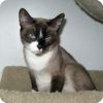 Snowshoe Cat for adoption in Powell, Ohio - Malee