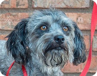 Shih Tzu/Poodle (Toy or Tea Cup) Mix Dog for adoption in San Marcos, California - Princess