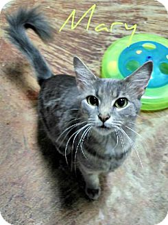 Domestic Mediumhair Cat for adoption in Laplace, Louisiana - Mary