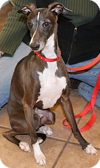 Italian Greyhound Dog for adoption in Westbury, New York - Sparky