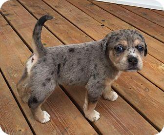 Catahoula Leopard Dog Mix Puppy for adoption in Hillsboro, Missouri - Shakira