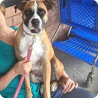 Adopt A Pet :: Maggie the Boxer - O'Fallon, MO