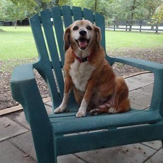 Beagle Mix Dog for adoption in Ravenel, South Carolina - Shirley Temple