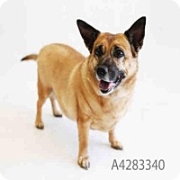 Cardigan Welsh Corgi/Chihuahua Mix Dog for adoption in Castaic, California - LILLY